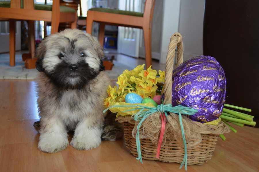 Lhasa Apso sitting next to an Easter basket